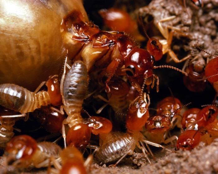 termites_large